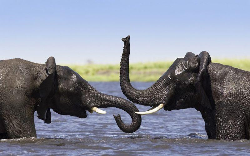 Two elephants talking wallpaper