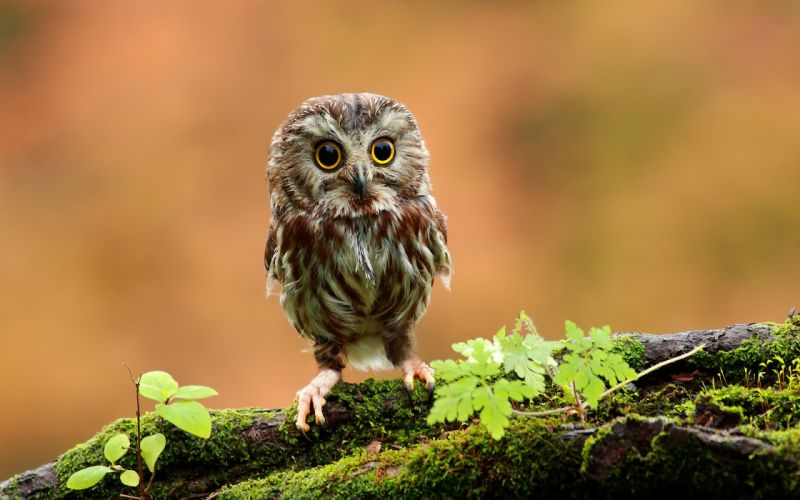 Cute baby owl wallpaper