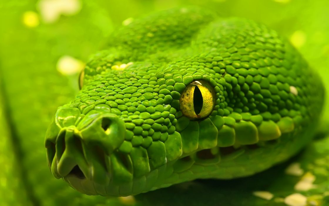 Green emerald boa snake wallpaper