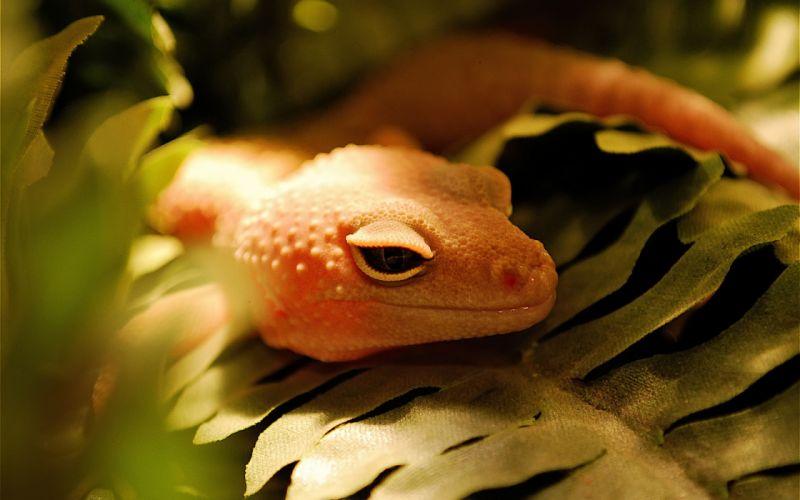 Orange lizard wallpaper