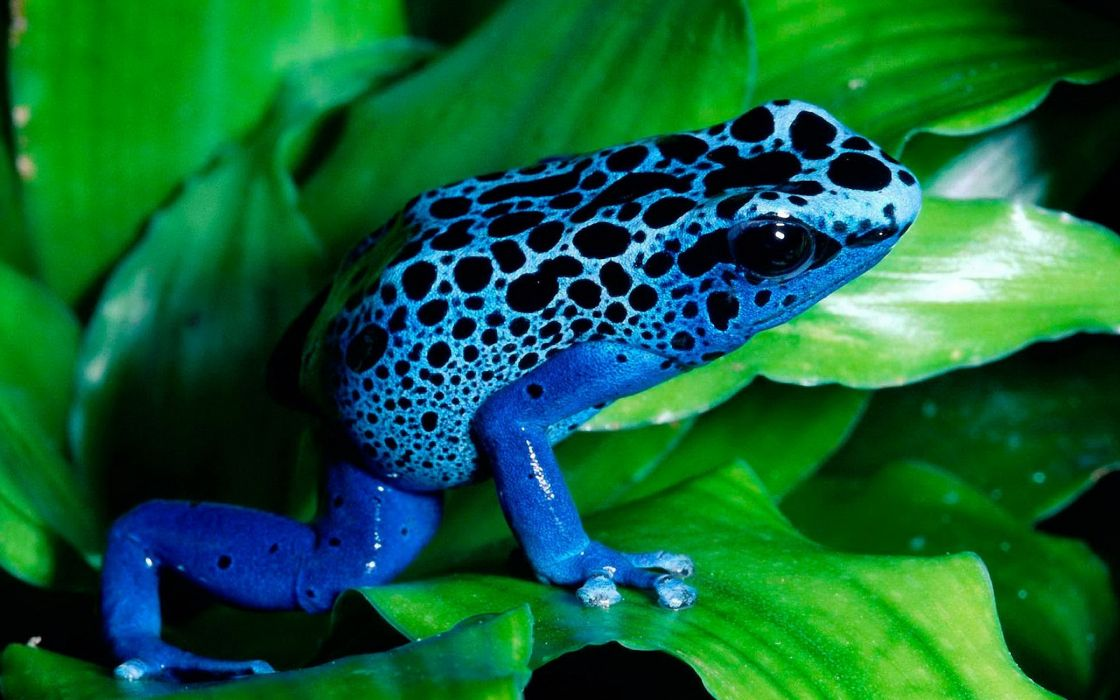 Blue frog wallpaper
