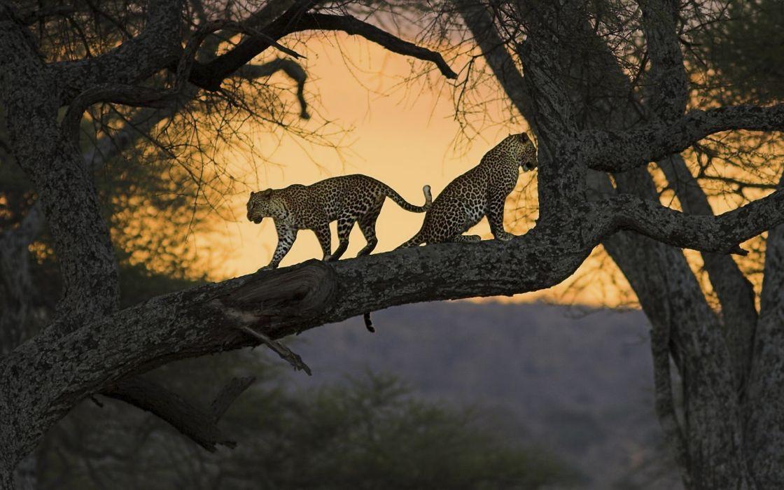 Two leopards wallpaper