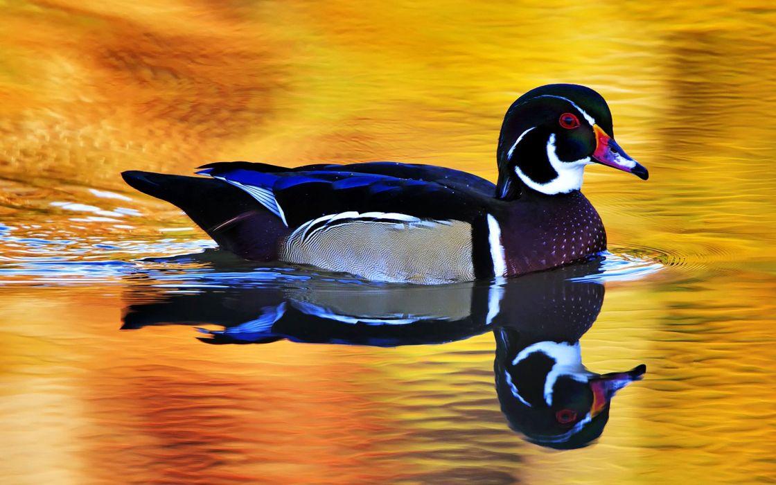 Colorful wild duck wallpaper