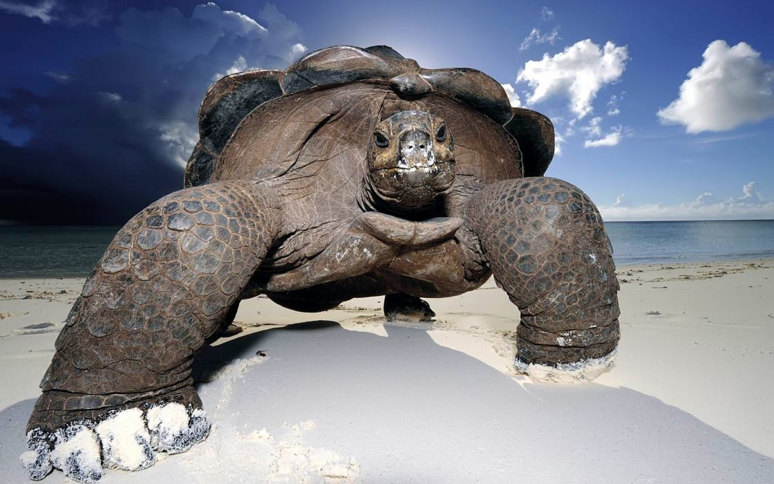 Huge beach turtle wallpaper