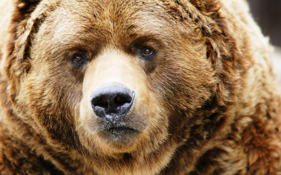 Amazing bear head wallpaper