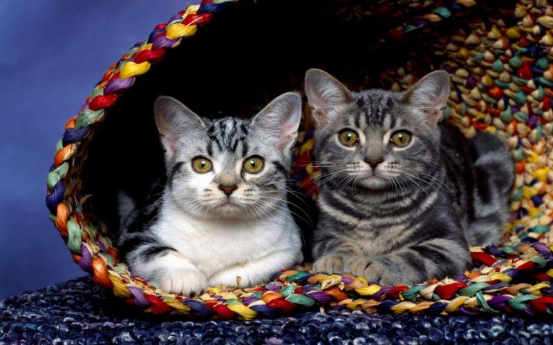 Cats in basket wallpaper