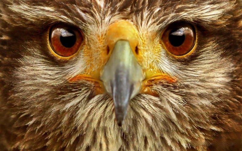Eagle close up wallpaper