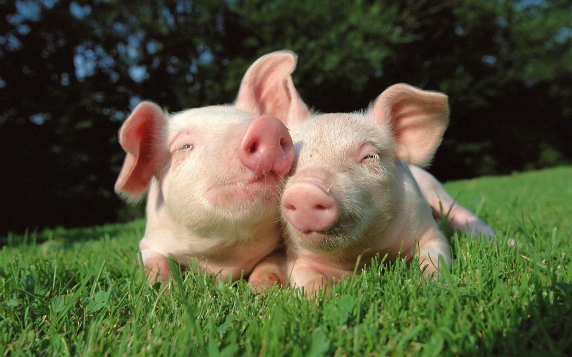 Pigs in love wallpaper