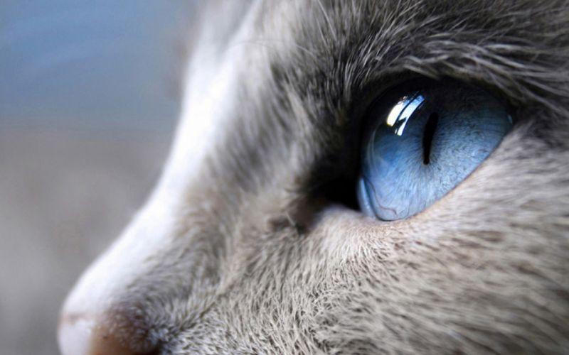 Blue eyes cat wallpaper