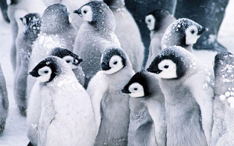Baby penguins wallpaper