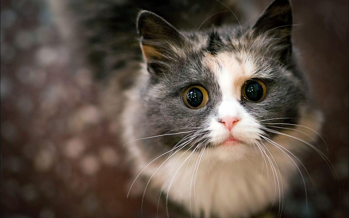 Begging cat wallpaper