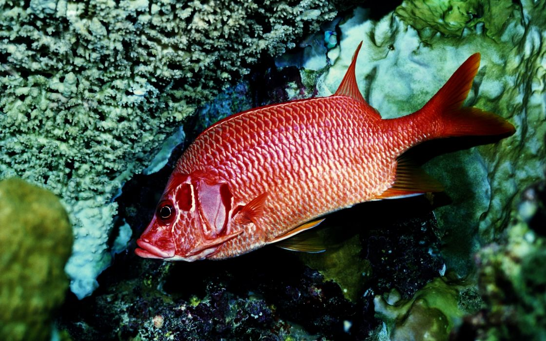 Red fish alone wallpaper
