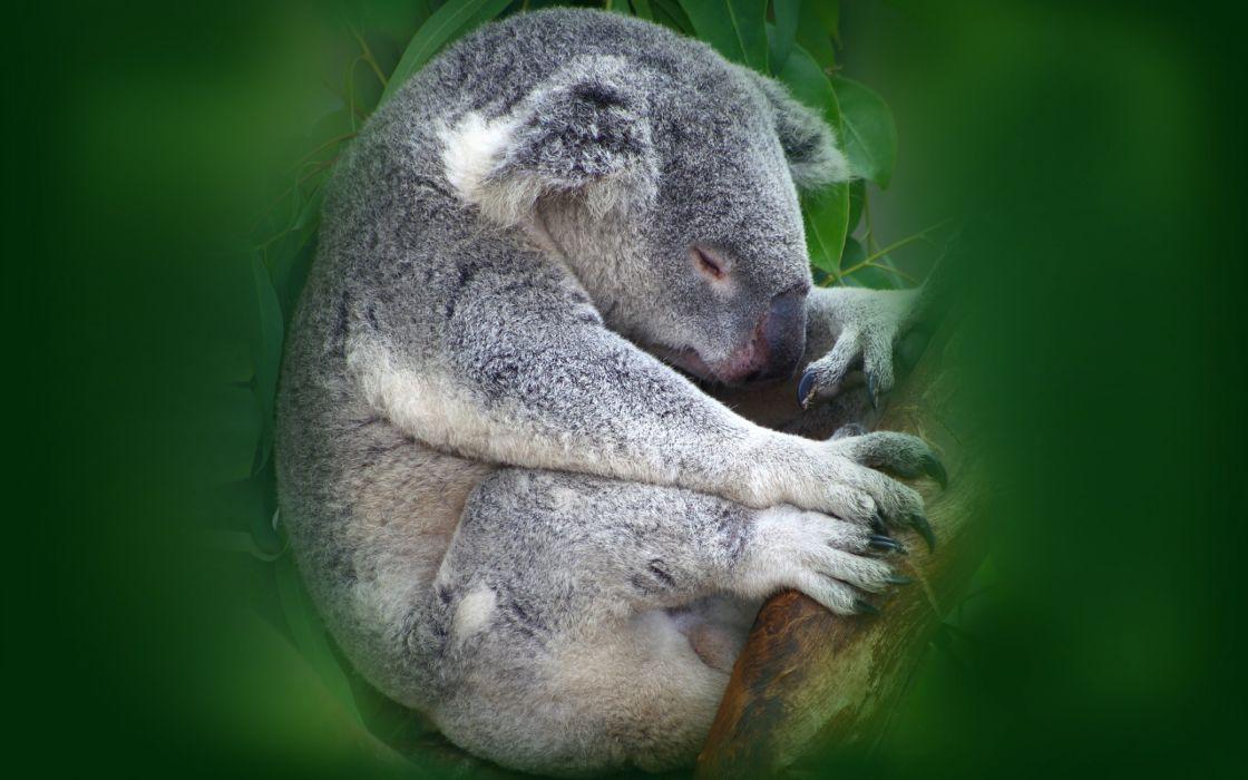 Koala sleeping wallpaper