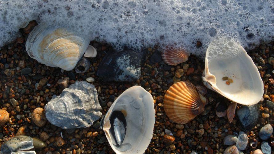 Sea scallops wallpaper