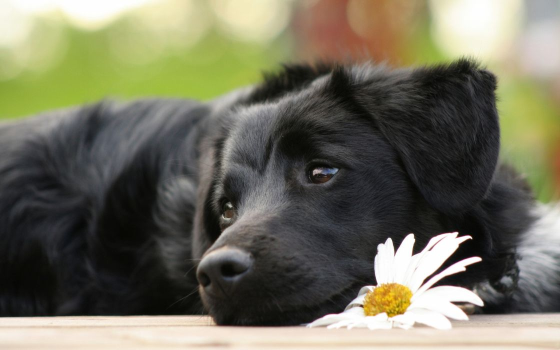 Black beautiful dog wallpaper