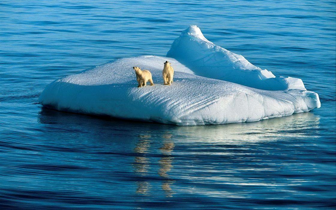 Two polar bears wallpaper