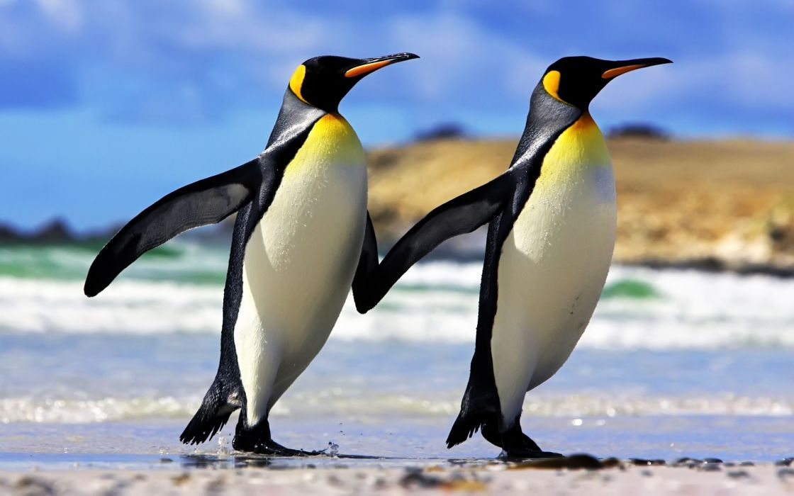 Emperor penguins couple wallpaper
