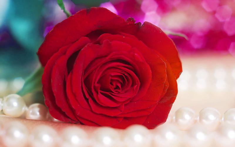 red rose 5 wallpaper