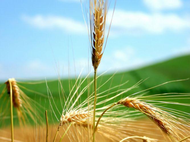 Ripe Wheat Ears and Blue Sky wallpaper