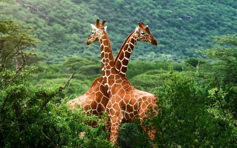 Giraffe Friends wallpaper