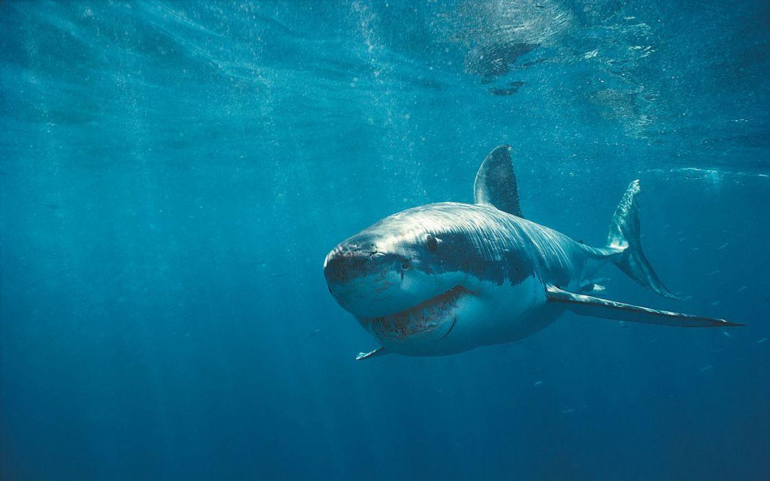 White Shark wallpaper
