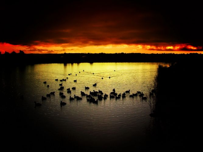 Wild Ducks on the Lake at Sunset wallpaper
