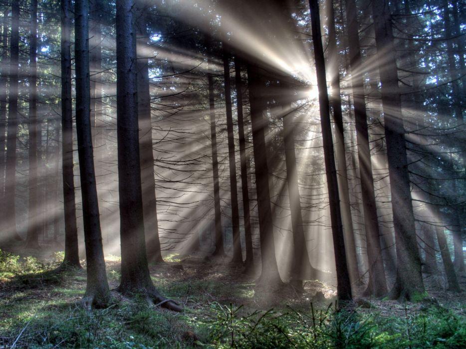 Sunshine Radiating Through Forest wallpaper