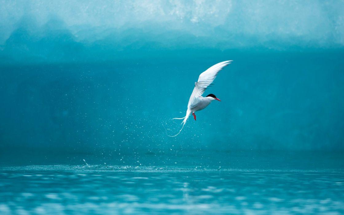 Arctic Tern wallpaper