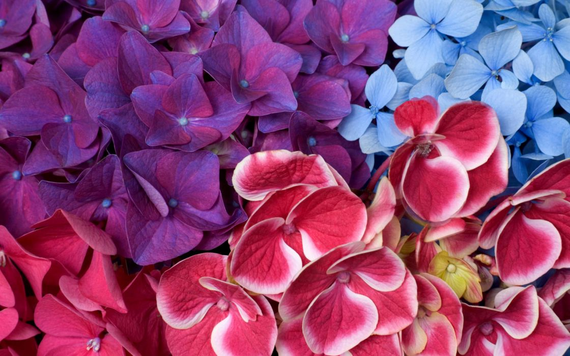 Varied Hydrangeas wallpaper