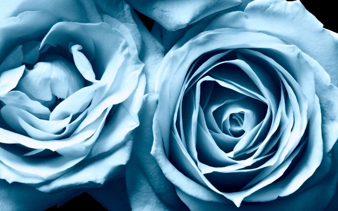 Blue Rosesscreen wallpaper