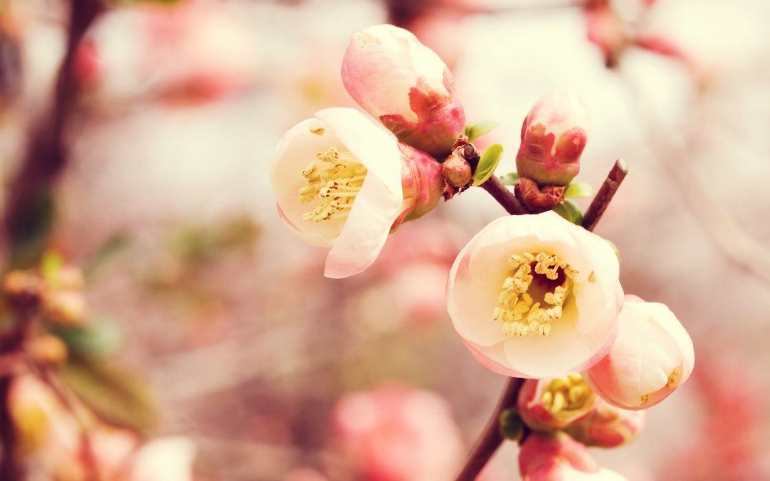 Flowering quince wallpaper