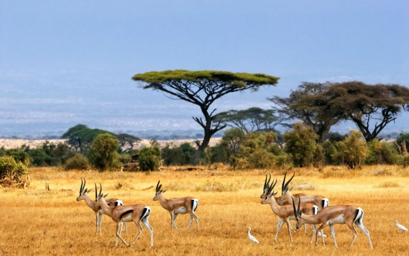 Antelopes wallpaper