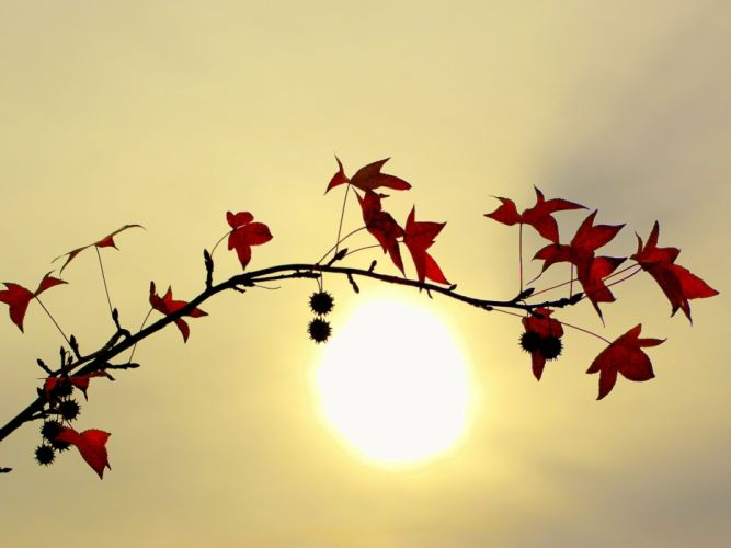 Branch with Red Leaves Against a Bright Sun wallpaper