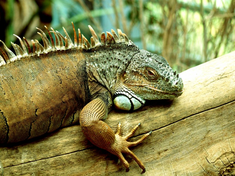 Reptile Close up wallpaper