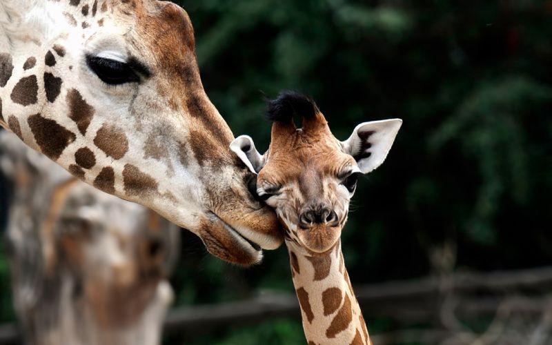 Giraffe Love wallpaper