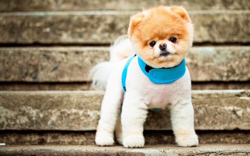 Pomeranian Puppy wallpaper