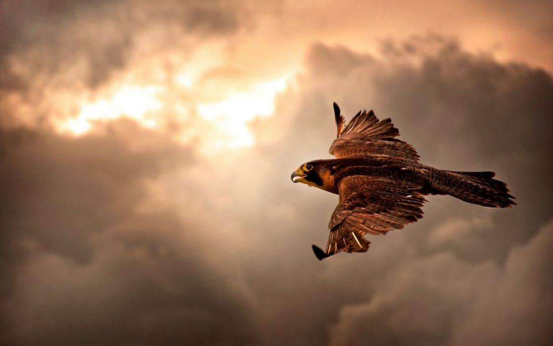 Falcon in Flight wallpaper
