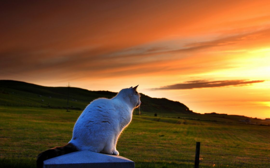Cat Looking to Sunset wallpaper