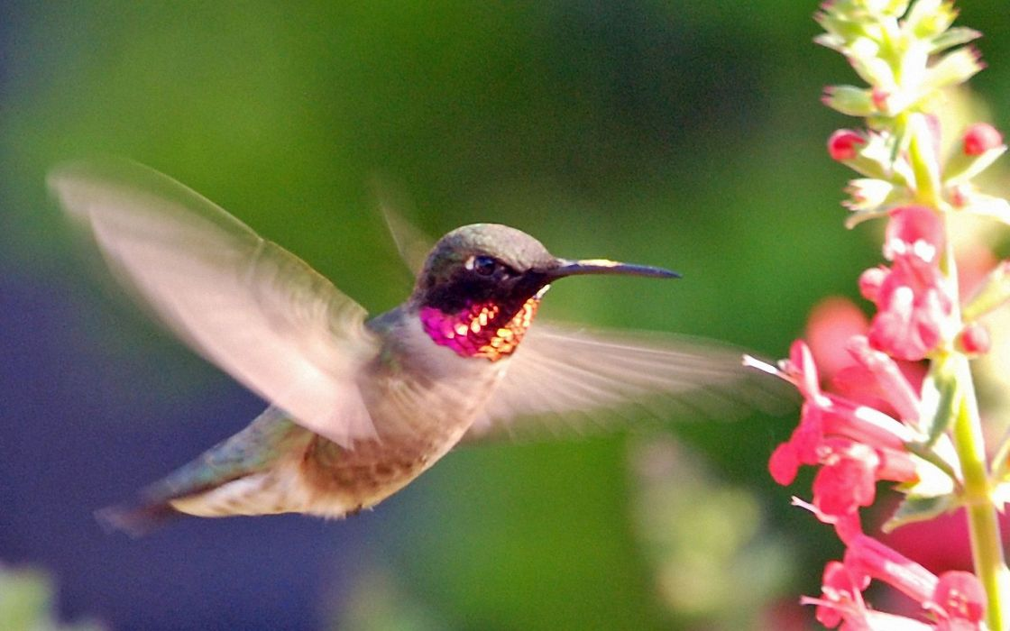 Pink hummingbird wallpaper