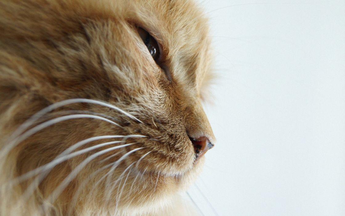 Orange cat wallpaper