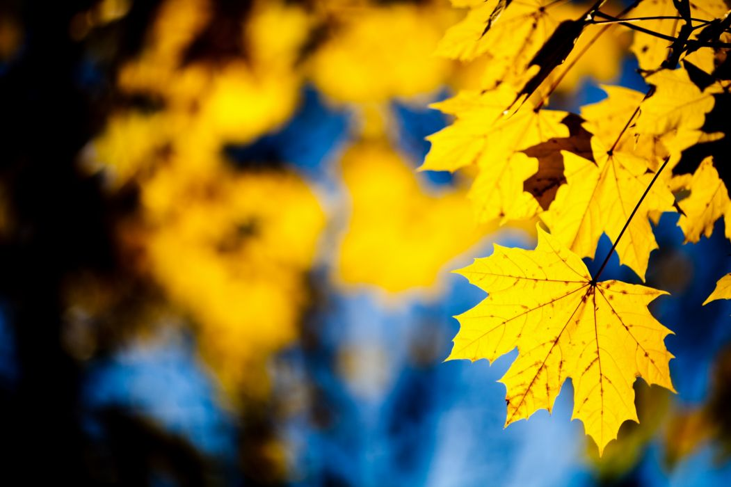 Yellow leafs wallpaper