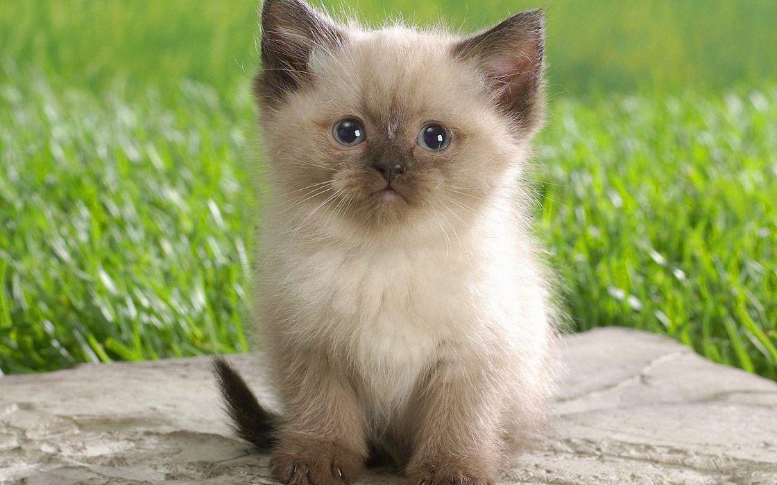 Cute himalayan kitten wallpaper