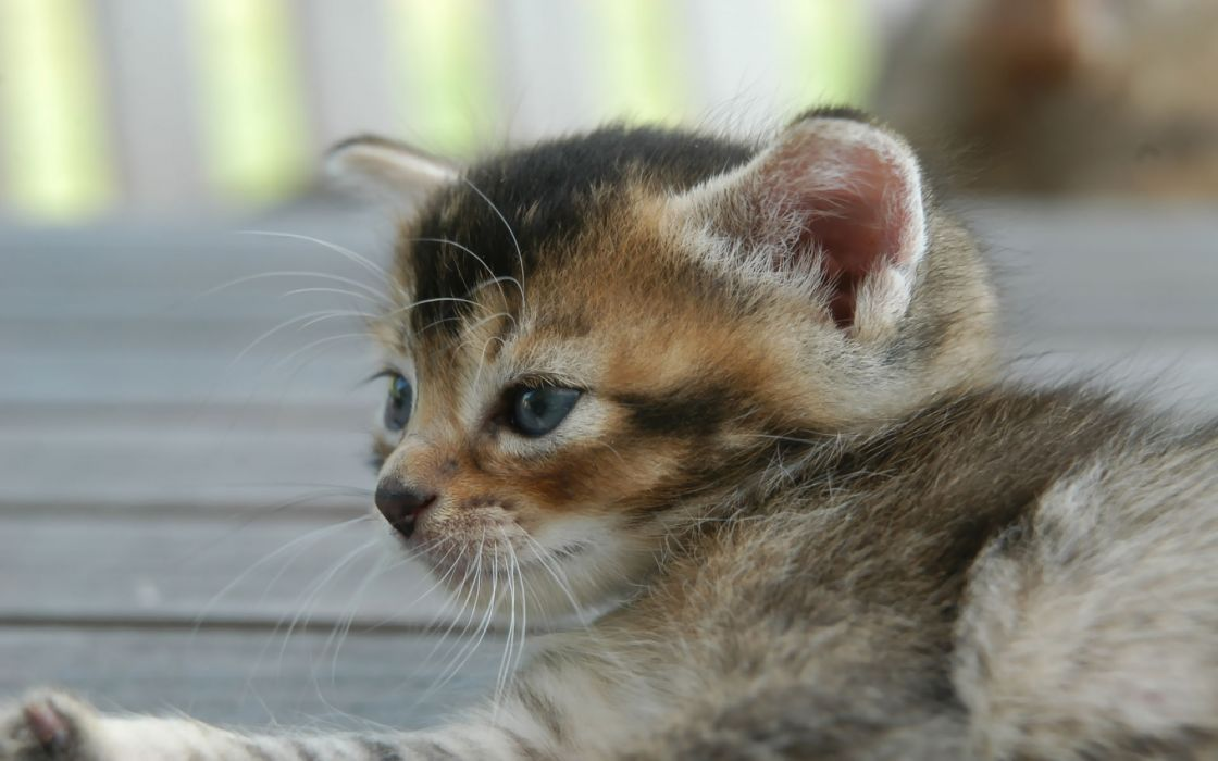 Blue eyed kitten wallpaper