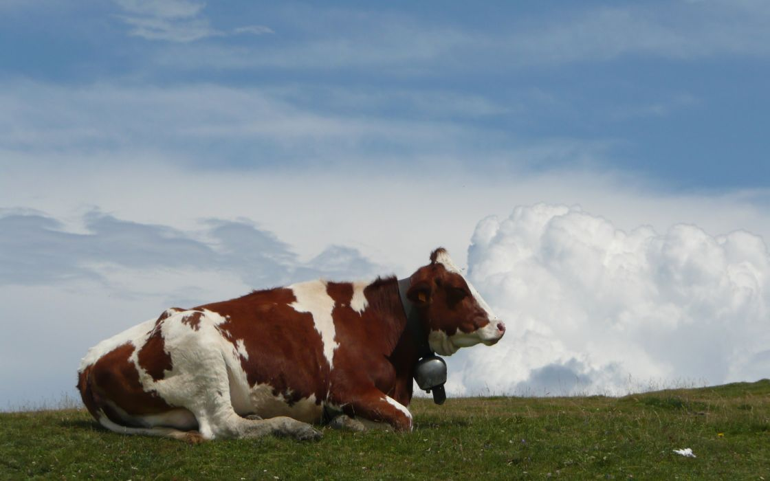 Cow on monte bale italy wallpaper