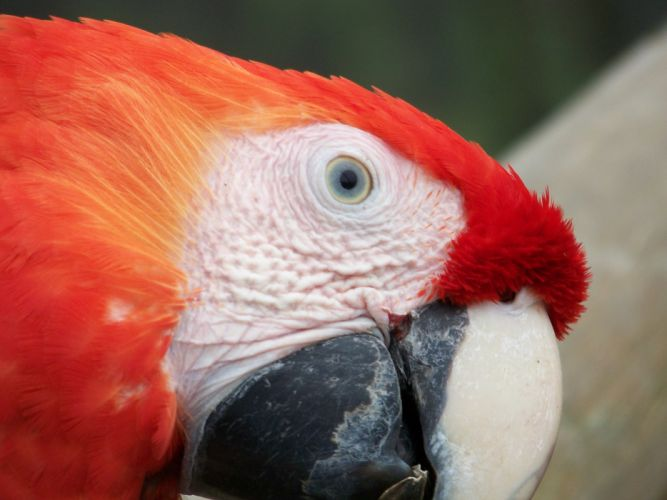 Red macaw face wallpaper