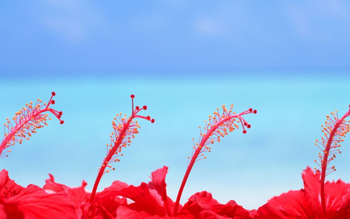 Maldives hibiscus flowers wallpaper