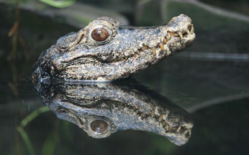 Crocodile mirror wallpaper