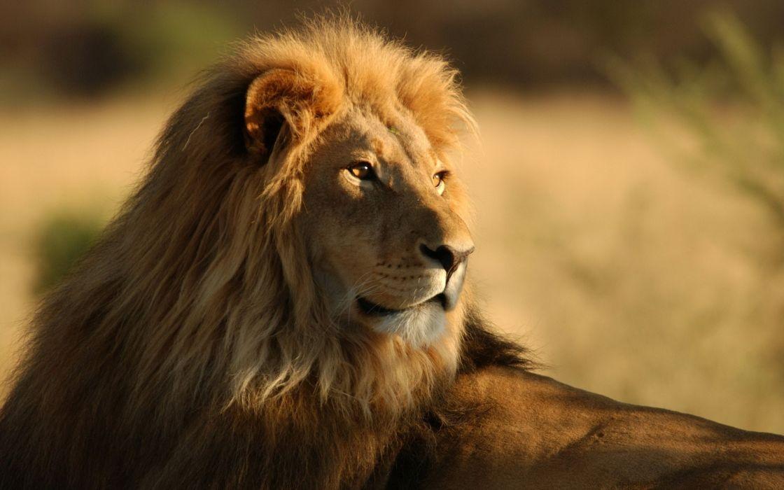 Lion observing wallpaper