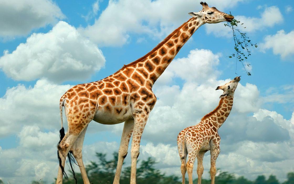 Giraffe family wallpaper