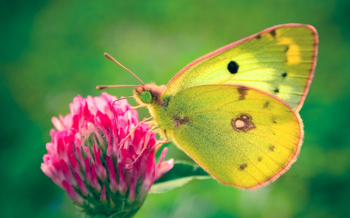 Colias hyale butterfly wallpaper